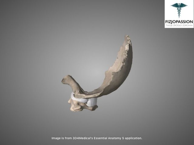 Articulatio atlantooccipitalis lateral view / Staw szczytowo-potyliczny widok z boku
