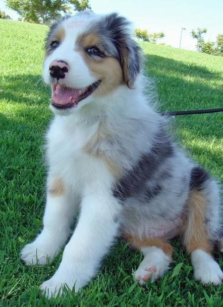 Australian Shepherd Puppy - I will have one...one day! <3