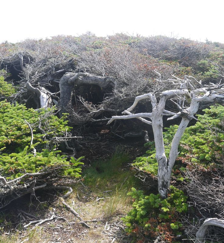 Tuckamore (trees stunted by the winds and winter weather) in Gros Morne Park, Newfoundland.