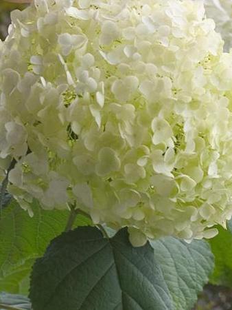 Shrubs // Hydrangea arborescens Incrediball ABETWO