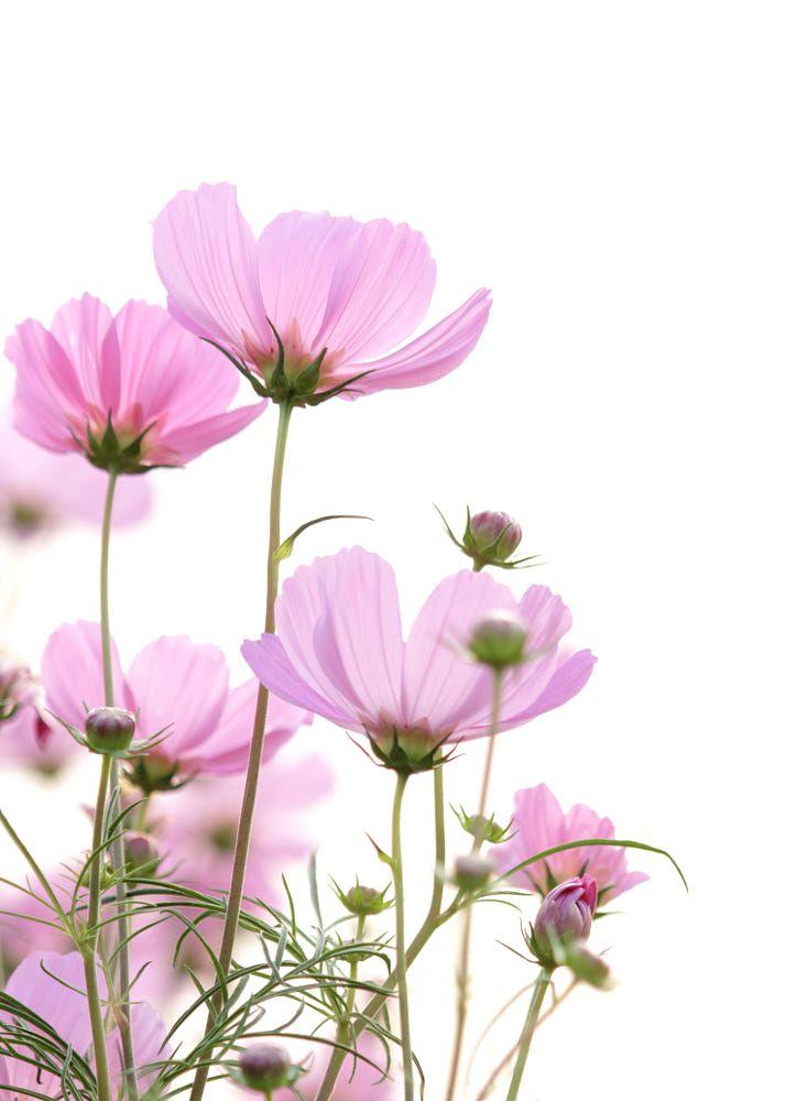 cosmos flowers on white background by Natthawut Punyosaeng on 500px