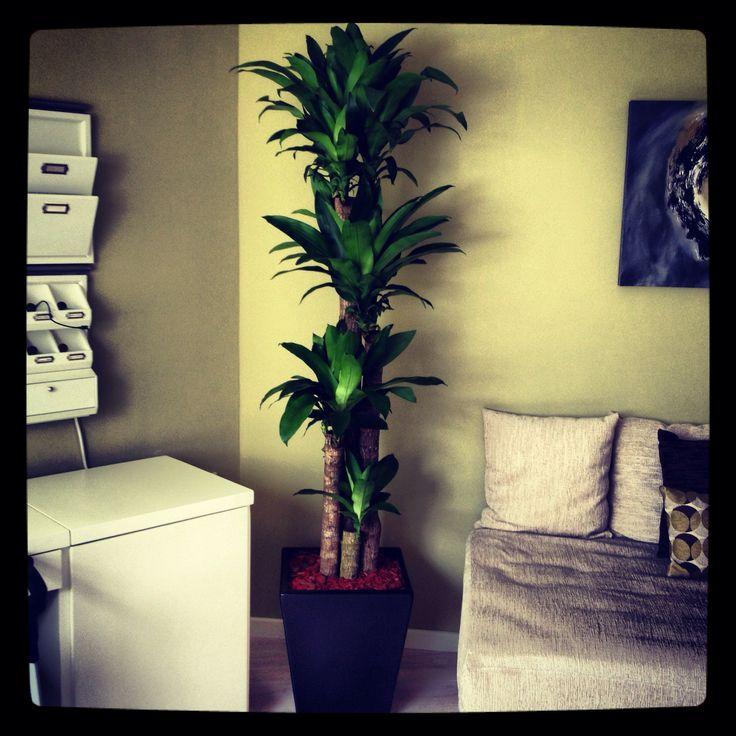 Palo de brasil en casa plantas para chant pinterest - Plantas de interior ...