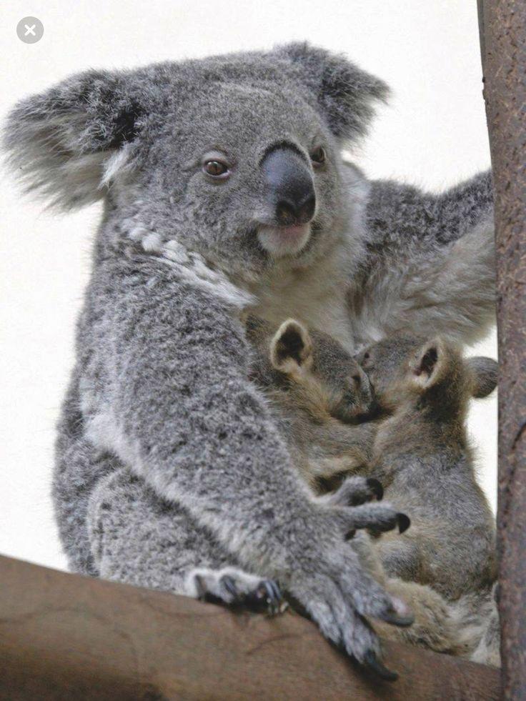Cute Baby And Mother Wallpaper Best 25 Koala Bears Ideas On Pinterest Cute Koala Bear