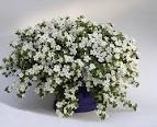 Bacopa... the most forgiving plant I've found