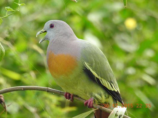 Male Pink Neck Pigeon @ Lower Seletar Reservoir