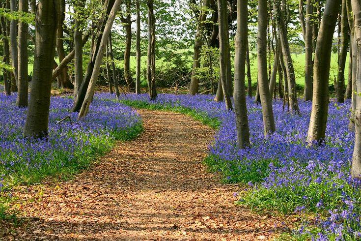 Bluebells - Chichester, West Sussex