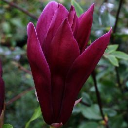 Cele mai frumoase magnolii pentru curtea si gradina ta - GardenExpert.ro