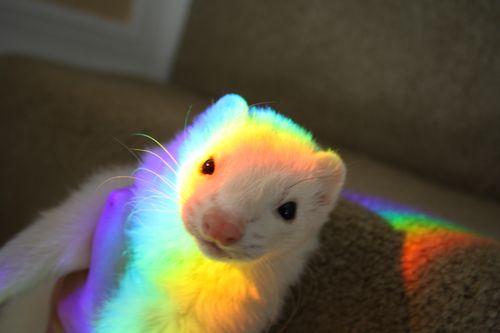 Rainbow ferret