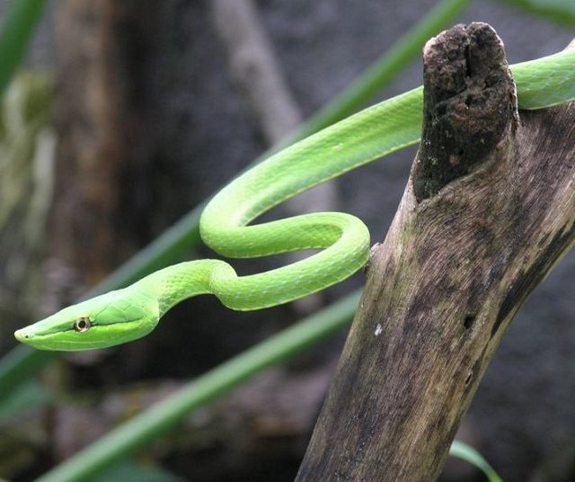 Green Vine Snake Facts! There are two kinds of snakes that are called green vine snakes. One of them is Oxybelis fulgidus which is also known as the flatbread snake or locally as the cobra bicuda which literally translates to 'beaked snake'.