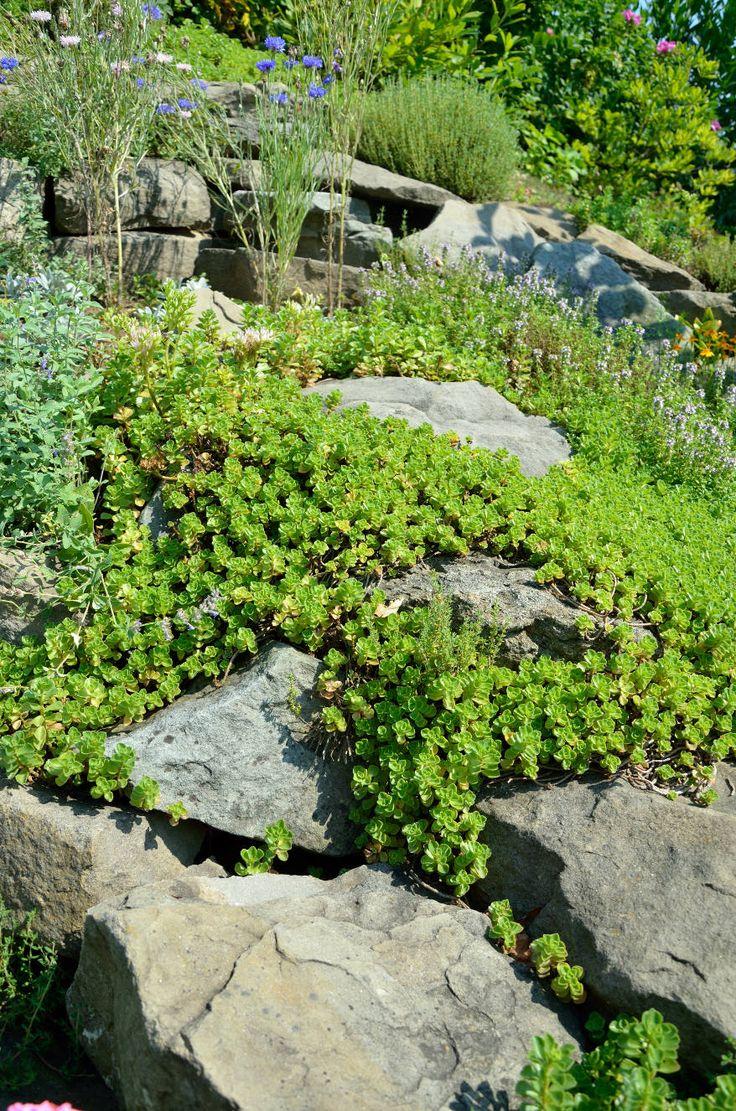 Rozchodnik (Sedum) jest bardzo łatwą w uprawie rośliną, odporną na czynniki atmosferyczne. Doskonale nadaje się do obsadzania w ogródkach skalnych, na murkach i skarpach. Prawda, że piękny?  http://dailytips.pl/rozchodnik/  fot. Patrycja Bydlińska  #ogrody #garden #kwiaty #rozchodnik