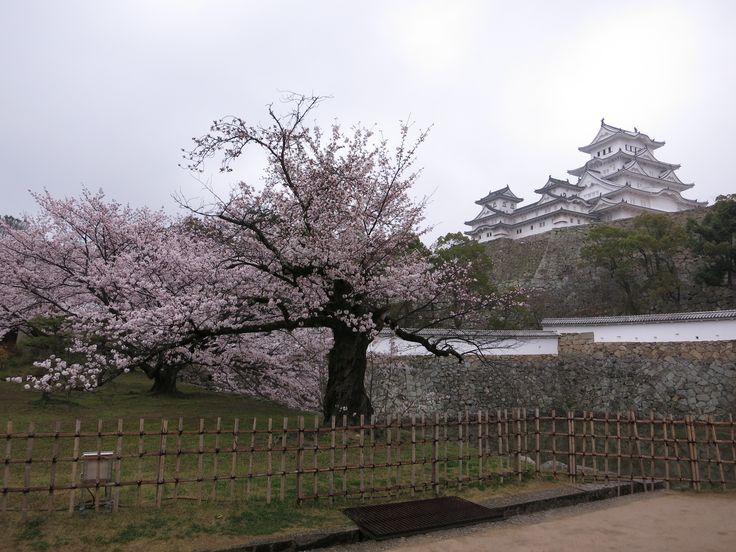 Il #castello di #Himeji, circondato da #ciliegi nel pieno della fioritura http://viaggigiappone.animeclick.it