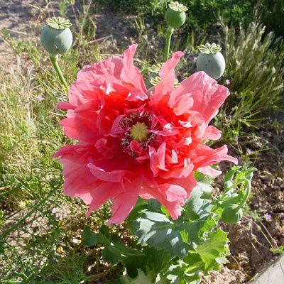 100  Papaver Somniferum Poppy seeds