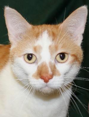 Adopt Odie on 貓 Savannah chat, Animal Rescue, Pet Adoption