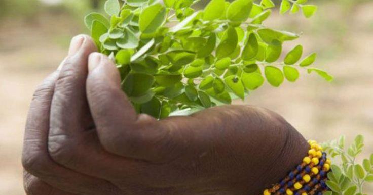 Conheça a 'planta milagrosa' que teria curado Fidel