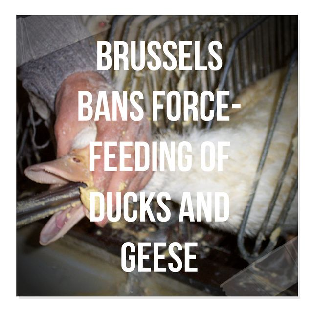 Love this!  Victory- Brussels Bans Force-Feeding Of Ducks And Geese, http://hersite.info/victory-brussels-bans-force-feeding-of-ducks-and-geese/ ,  #AnimalAbuse #AnimalMiracles #FoodFarming #InhumainePracticesOfAnimals #inhumanetreatmentofanimals