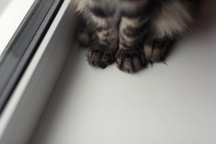 kitty Habibi Hannah; Maine Coon; cat paws