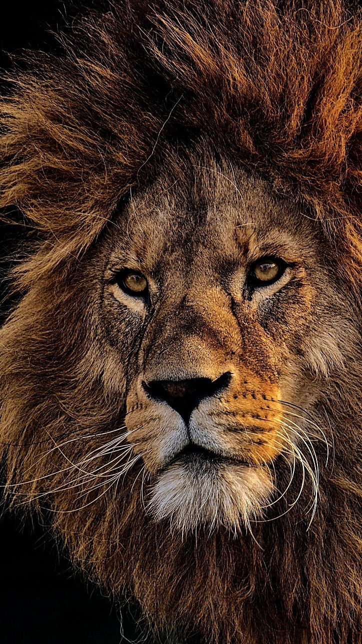 Wallpapers For Iphone 11 Iphone 11 Pro And Iphone 11 Pro Max In 2020 Lion Pictures Lion Photography Lion Wallpaper