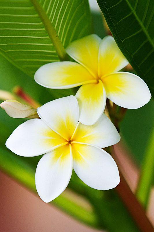 Fleurs de Frangipanier. Quelle bonne odeur #exotic