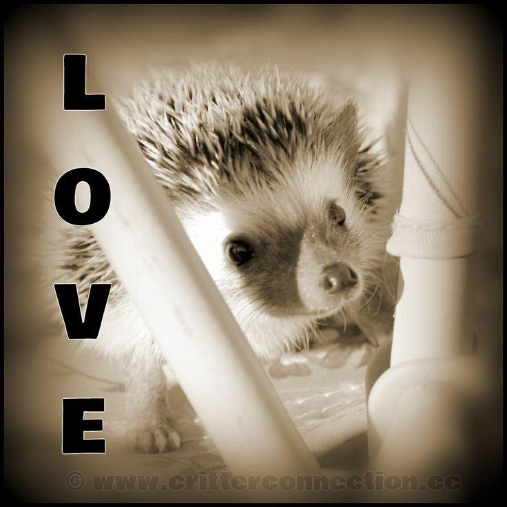 #millermeade #hedgehog #breeder #hedgie #love #adorable #meme #cute  www.critterconnection.cc