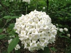 Viburnum × carlcephalum - Fragrant Viburnum - by the front fence gate