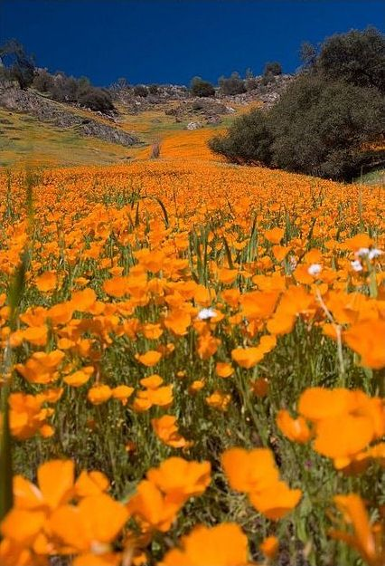 River of Gold in Yosemite, California. By Dave Carlson.: California Poppies, Flowers Fields, States Flowers, Natural Beautiful, Fields Of Flowers, Yosemite California, Yellow Brick Road, U.S. States, Golden Poppies