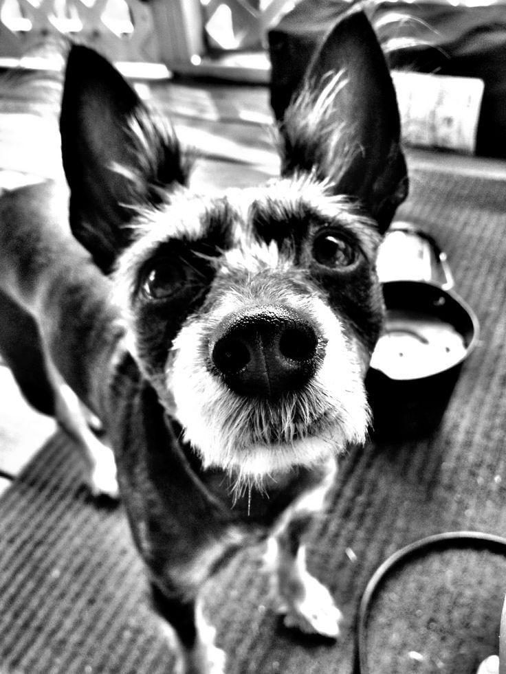 My sweet baby! Schnauzer & rat terrier mix. | Dog Life ...
