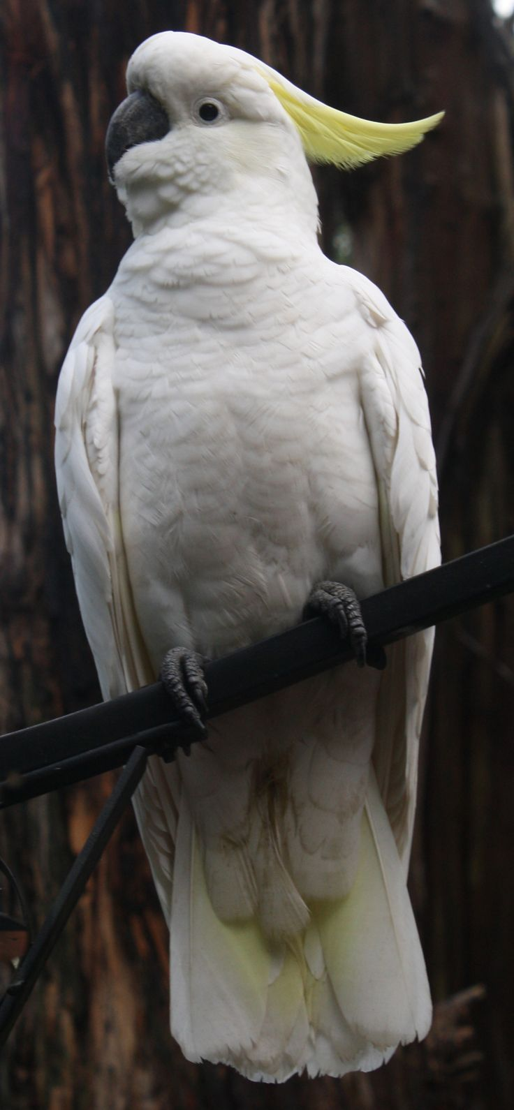Sulphur-crested Cockatoo (Cacatua galerita) is a relatively large white cockatoo found in wooded habitats in Australia & New Guinea. They can be locally very numerous, leading to them sometimes being considered pests. Cockatoo is any of 21 species belonging to the bird family Cacatuidae, the only family in the superfamily Cacatuoidea. Along with the Psittacoidea (true parrots) and the Strigopoidea (large New Zealand parrots), they make up the order Psittaciformes (parrots).