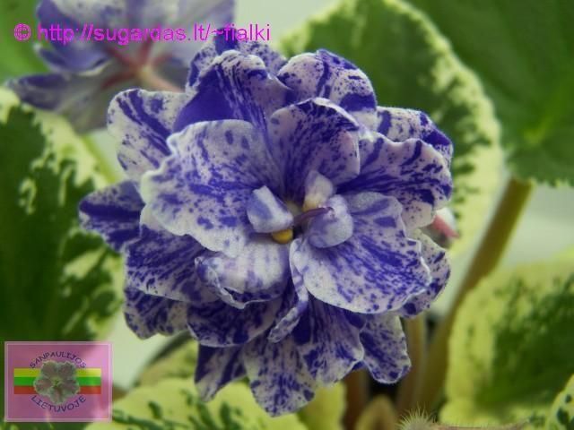 African Violet Mas Glass Slipper | Махровые светло-розовые цветы, с ...