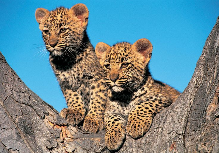 Facts about leopards - Swain Destinations Travel Blog