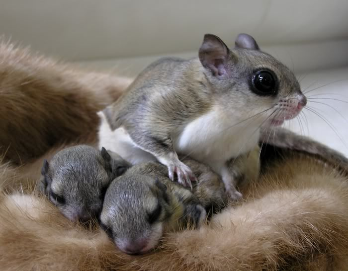 These flying squirrel babies are three weeks old and their mother !!!