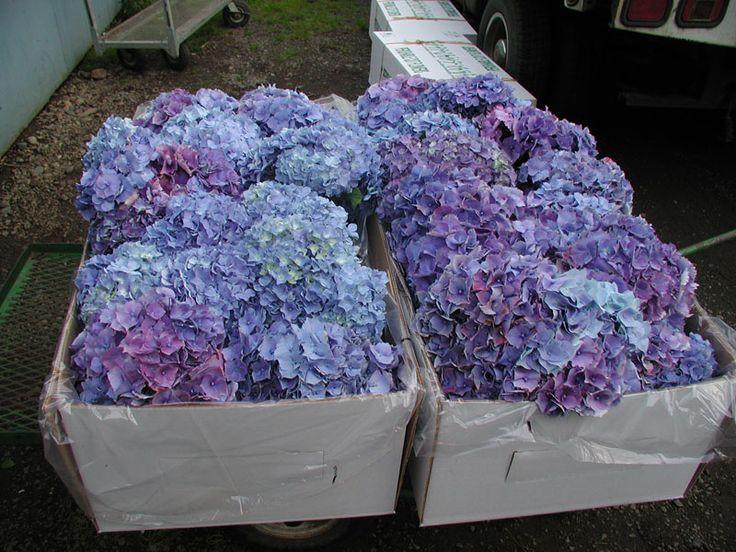 Fresh Periwinkle Hydrangea Wedding Bouquets