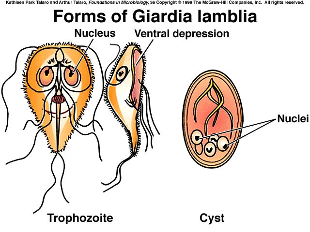 Natural Giardia Treatment In Adults