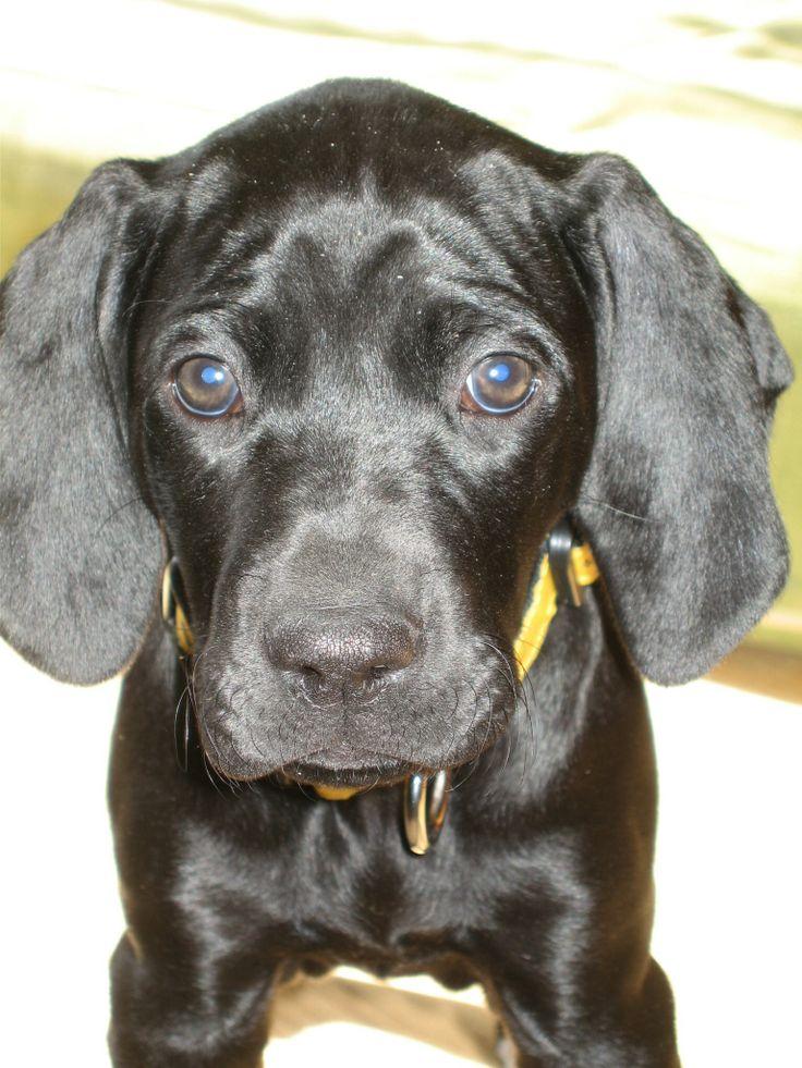 Black German shorthair pointer pup.