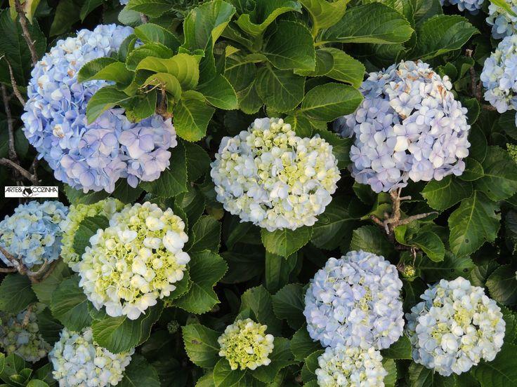 Composta de muitas flores, a hortênsia produz inflorescências em forma de buquês. Fotografia:Simone Seffrin