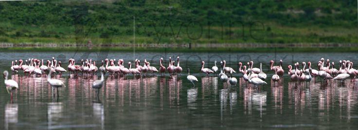 Afryka - Flamingi