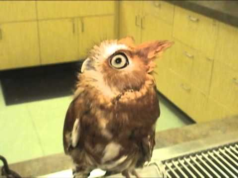 Screech Owl Chattering - Exotic Pet Vet Uncut Video -------  Oh, he just melts my heart!  Owls <3