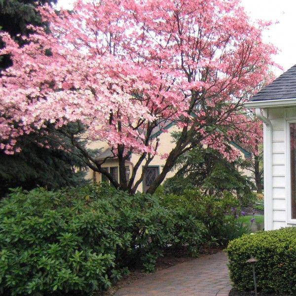 Cornus florida 'Cherokee Chief' flowering dogwood
