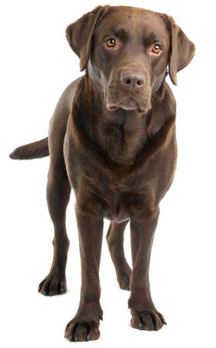 Raza: Labrador Retriever  Origen: Canadá Peso Adulto: entre 27 - 36,4 kg machos y 25 - 31,7 kg hembras.  En general, buen comportamiento, inteligentes, perseverantes, con disposición para el trabajo (perros de asistencia, cacería, rescate), afables y buenos compañeros.  Colores del pelaje más comunes: Negro, Marrón chocolate y blanco crema a rojizo.  http://perroverdeygatonegro.com/advance/24-advance-labrador.html