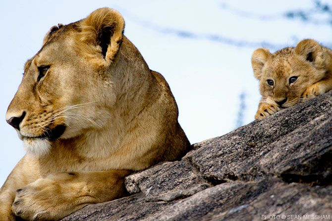 Beautiful cub and lioness by Photographic Journalist Sean Messham