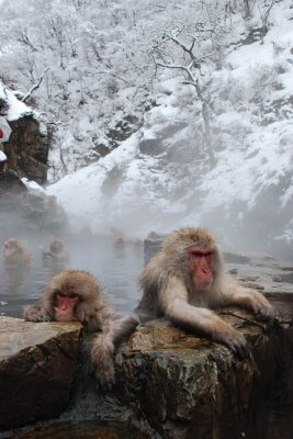 """Snow Monkey"" ,Japanese macaque"