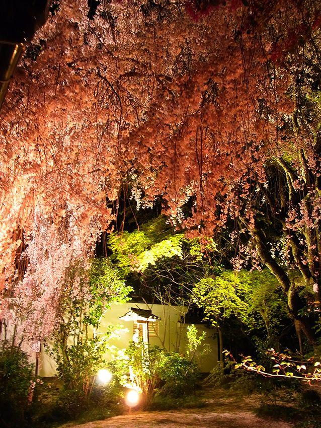 妙心寺退蔵院の夜桜