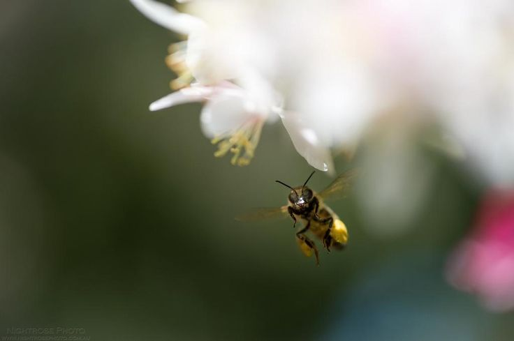 One of the many bees pollinating our crabapple tree now that it is in full blossom. #insect #photography