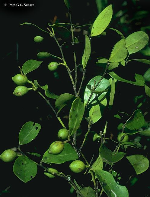 Muira puama is the #plant most #aphrodisiac that is known. #sex