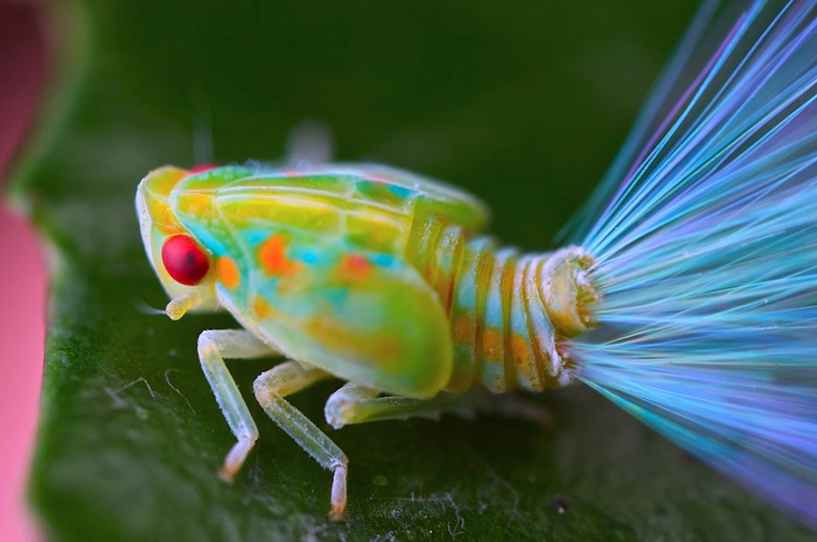 Leafhopper Nymph with Iridescent Tail