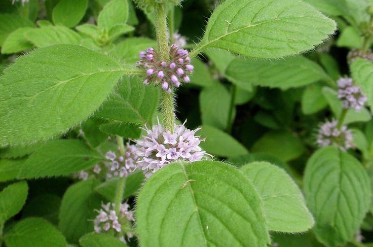 Heilpflanze Ackerminze