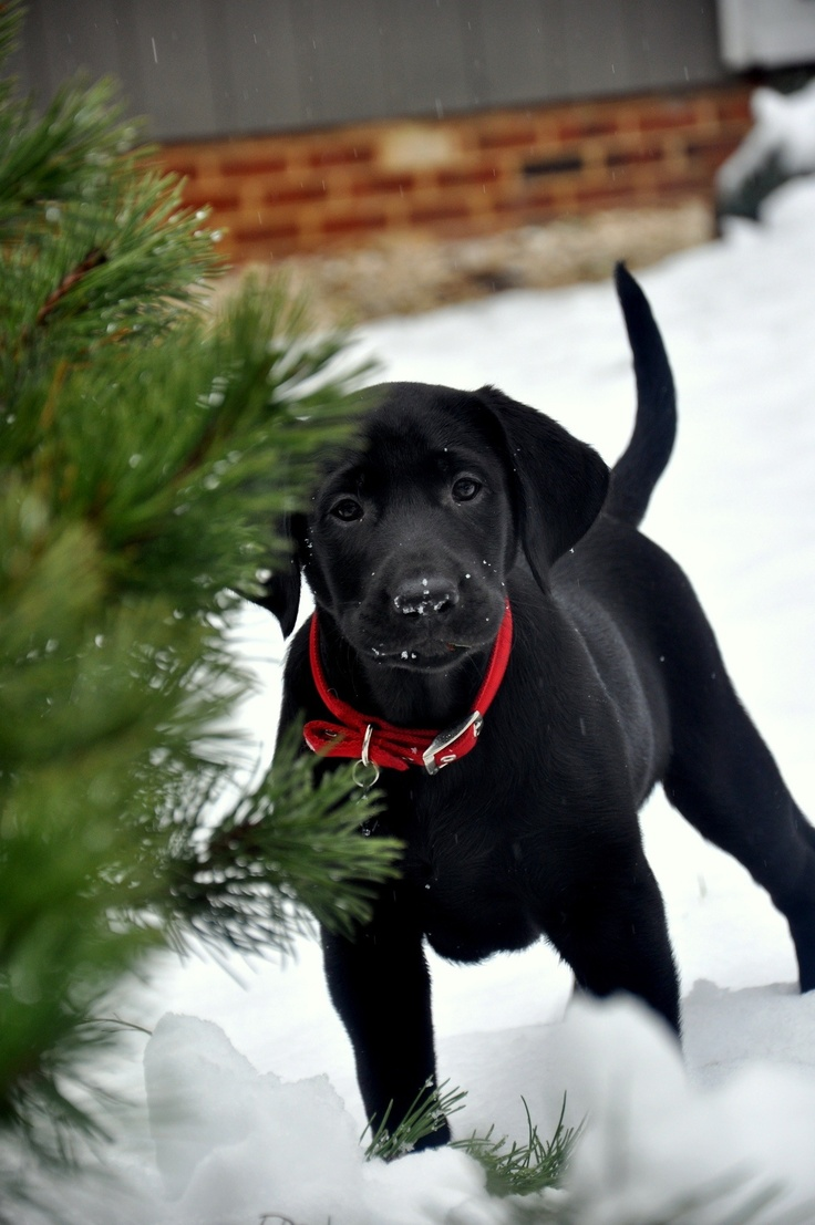 December 11th: Black Dog Home Boarding Sussex -Christmas Advent Tree - Christmas trees are wonderful - remember when indoors and the needles start to drop - they can be harmful to your pets - so keep an eye out and make sure little pups dont start nibbling at the lower branches... Keep watering your tree to ensure it keeps going through the festive season:-)