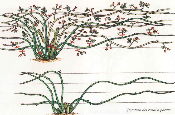 Come potare le rose - Cura delle Rose - Cura delle Piante Ornamentali - Cura…