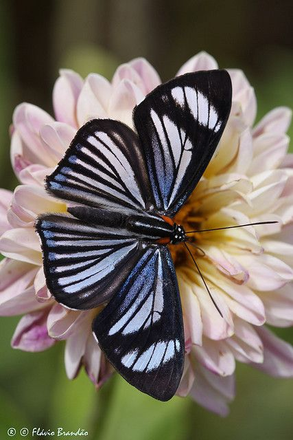 ~~Series with flowers and butterflies ~ Hyalina Metalmark (Thisbe hyalina) - Nymphidiini by Flávio Cruvinel Brandão~~
