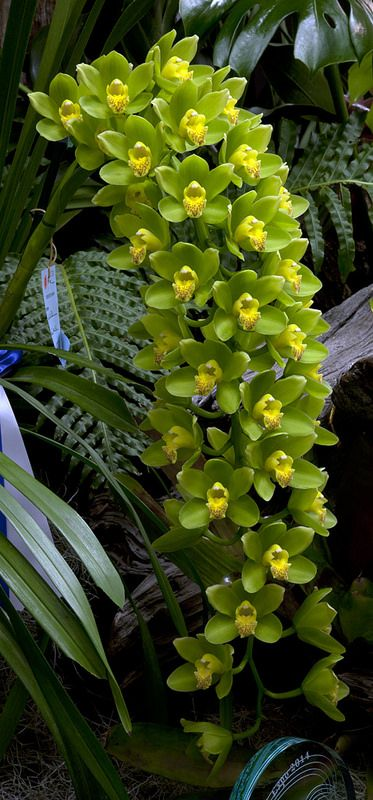 Cymbidium Ha Bui 'Your Majesty' | by Don on Flickr