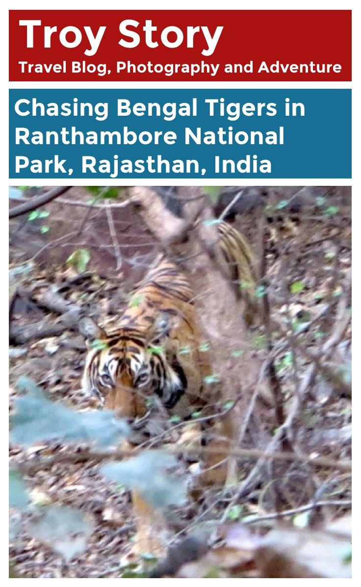 Chasing a #tiger in Ranthambore National Park in #Indai. Read about this lucky encounter here! #travel #wildlife #blog